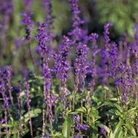 季節の花「サルビア・ファリナセア」