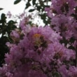 散歩で見た花期の長い花。(ケイトウ ハツユキソウ サルスベリ)