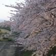 角館の桜 満開