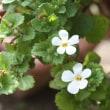 「おはようの花」 バコパ1月