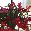 シャコバサボテンの開花