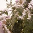 11月の雪と皇帝ダリア