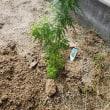 アサギマダラ蝶の好物フジバカマを植える