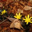 「おはようの花」 リュウキンカ(立金花) 2月
