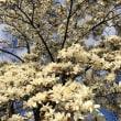 真っ白な花が咲いた   季節の日々