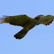 2018.05.14(月)の日誌(春の鷹渡り#18-17-01:ハチクマ♂♀の飛翔)