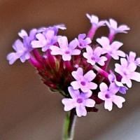山茶花が咲きました♪