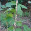 ジュウロクササゲの実 〈十六大角豆の実〉