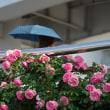 ヴェルニー公園のバラ(2)