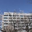 戸ヶ崎の「桜守」は