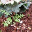 雑草取りで見つけたこぼれ種からのネモフィラ