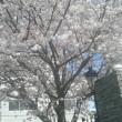 満開の桜 2018
