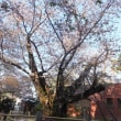 東北4 弘前城の桜