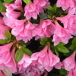 4/15 中庭のツツジの花
