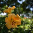 ゆりの花を撮る