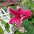 ◆【クレマチス・プリンセスダイアナ】チューリップ咲きクレマチス テキセンシス系 ◆