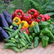 カラフル野菜の収穫が続きます