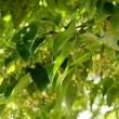 浄福寺の菩提樹開花