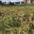 台風18号で、稲が全滅