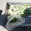 今日の収穫 イチゴ ニラ 試し掘りのタマネギ うまい菜