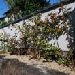 庭の果樹 ユズ カキ レモン ブドウ ウメ 不知火 温州ミカン ブルーベリー