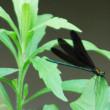 野川の羽黒トンボ