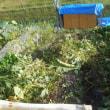 次のイモ堀りの準備 蔓切りをしました