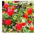 ≪ロウヤガキ・老鴉柿≫