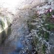 目黒川の桜吹雪