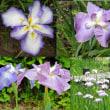 池田城跡公園に咲くテッポウユリ