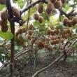 五月に授粉したキウイフルーツが成熟し、いよいよ出荷します。
