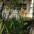 グラジオラスが咲いた