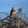 河北潟で小鳥ウォッチング ヒヨドリ・モズ・ツグミ