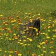 ブタナ&コウリンタンポポ 雑草の花見