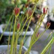 我が家の「彼岸花」の開花も間近だ!