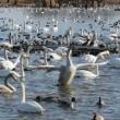 瓢湖の白鳥🦢と鴨🦆