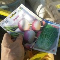 千筋京水菜、ほうれん草など播種