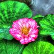 長谷寺の蓮の花 11402