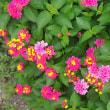 庭のランタナの花。