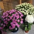 頂いた菊が玄関先を飾る           2017.11.06