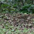 木の実(カンヒザクラの果実)を食べるオオトラツグミ