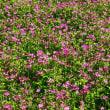 春景色 レンゲ畑