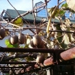 キウイ収穫と初霜