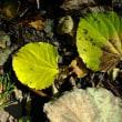 イイギリ(飯桐)の黄葉