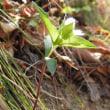 高ボッチ高原・鉢伏山で最近咲いている花 ワダソウ(和田草)