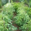 市民菜園077 なたまめ さつまいも トマト