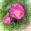 可愛い薔薇でオヤスミ