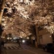 六本木、赤坂の桜