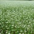 雨の中の蕎麦畑・・・鹿児島の風景