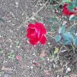立冬に咲くバラ